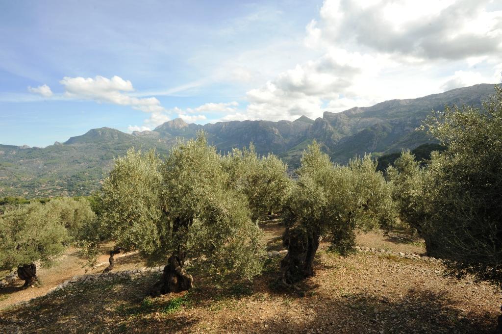 SOLLER - Preocupación en el sector olivarero por el riesgo de que se pierda otra cosecha.