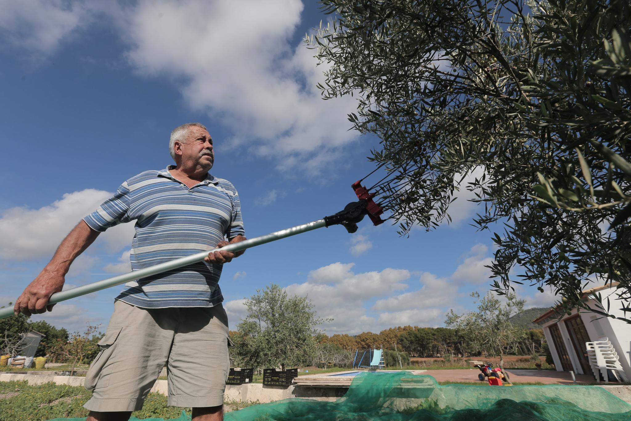 Olives in Majorca