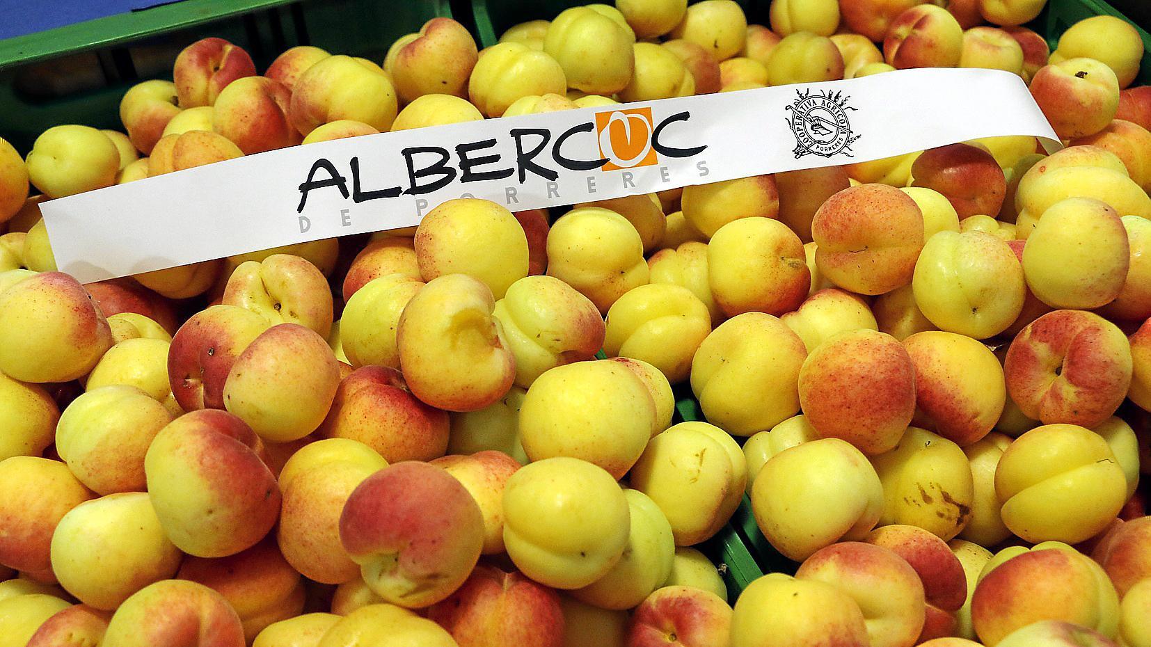 PORRERES. AGRICULTURA. La Cooperativa inicia la campaña del albaricoque con unos frutos de calidad