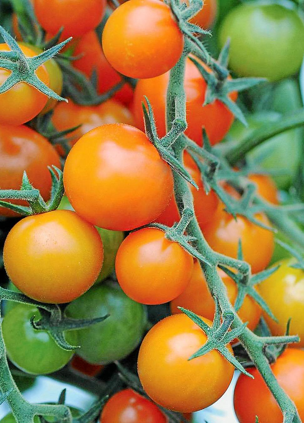 Tomatoes in the summer