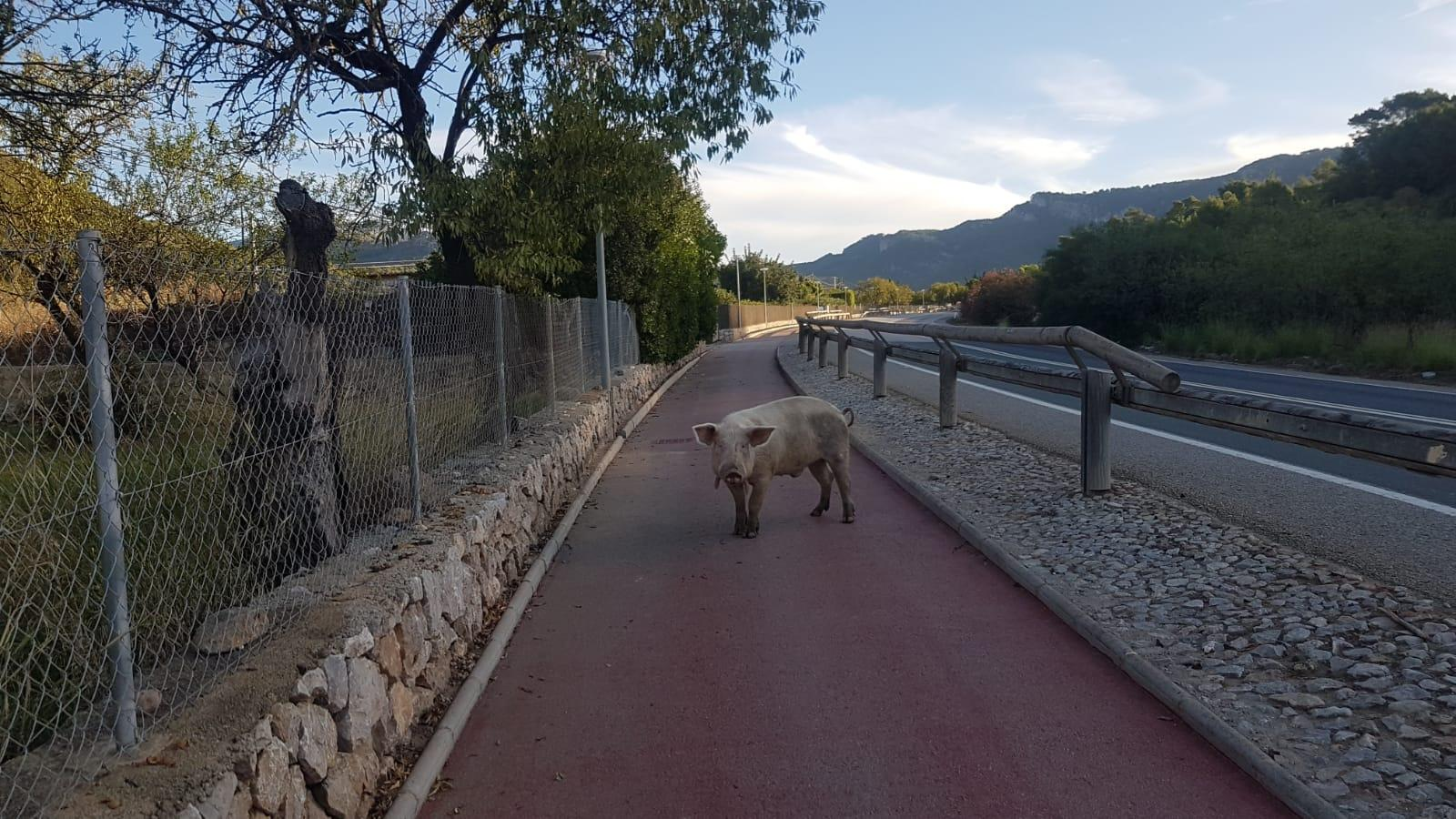 PORT D'ANDRATX. CERDOS. Una piara de cerdos pone en peligro el tráfico en el Port d¿Andratx.