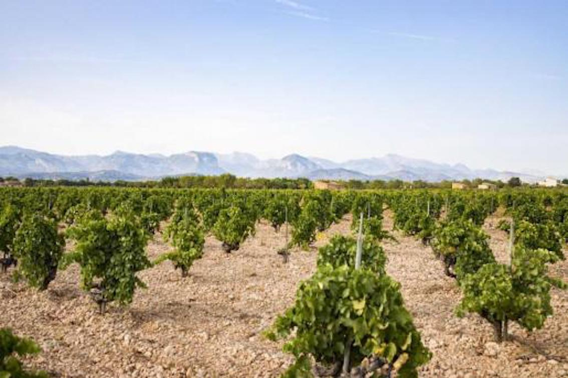 Mallorcan Wineries hope for the best & expect the worst