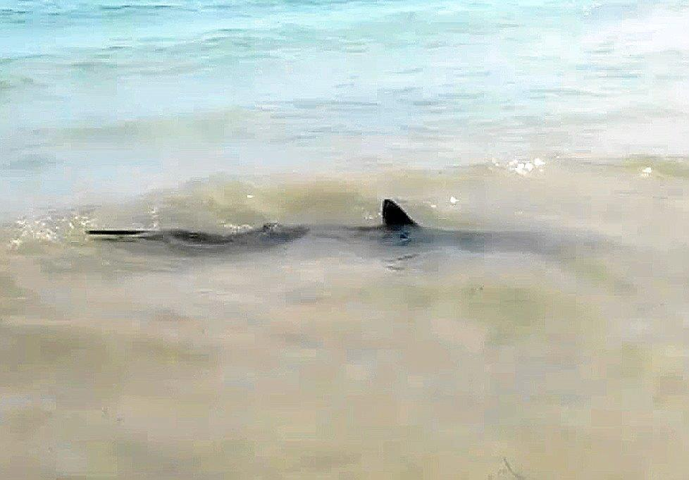 Ten Foot Shark Sparks Panic Among Bathers On A Del Sol Beach