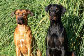 3 Year old Pastor xRidgeback Nala, and 2 year old Doberman Jet