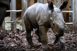 The Royal Burgers' Zoo welcomed a newly-born white rhinoceros in Arnhem